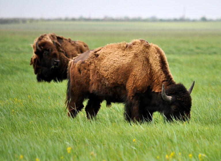 Бизоны в Аскании-Нова