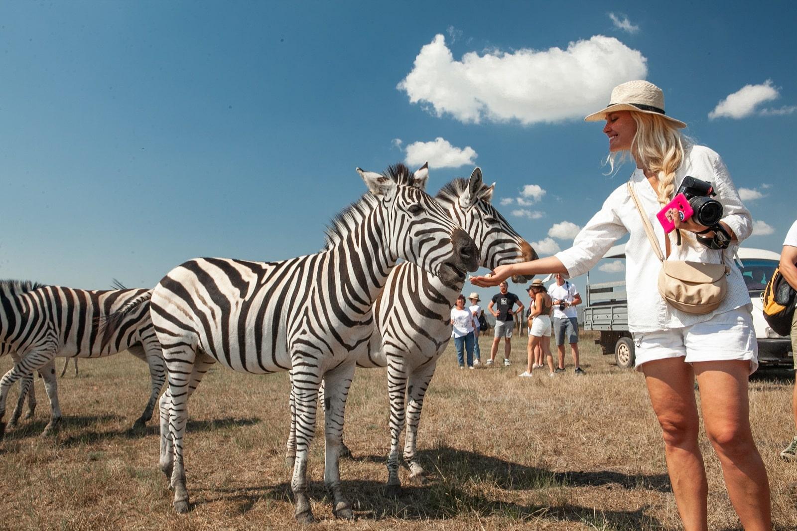 Зебры и туристка