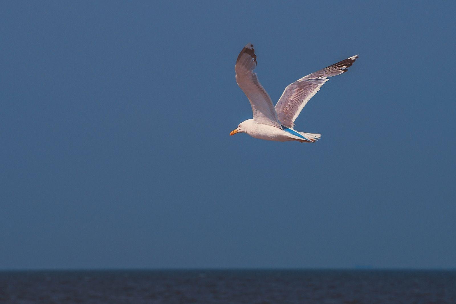 Морська чайка