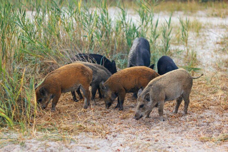 Дикие свинки