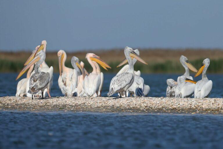 Пеликаны в Вилково