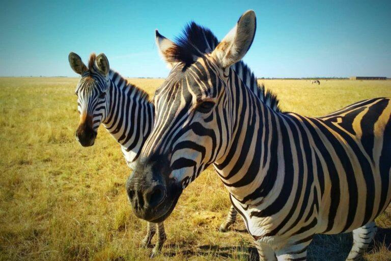 Зебри в степу