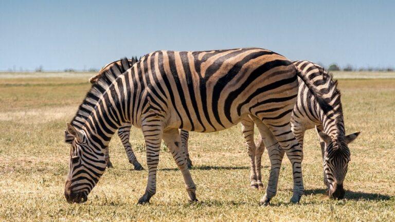 Зебры в Аскании-Нова