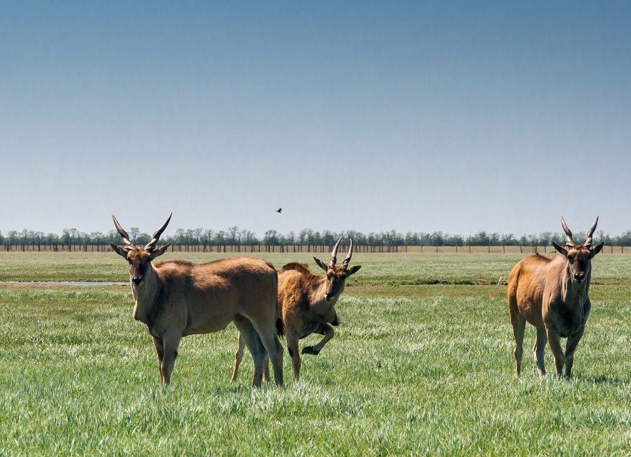 Антилопы в Аскании-Нова
