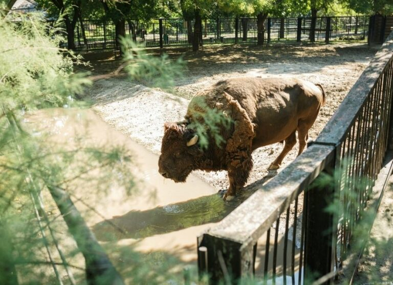 Бізон у зоопарку
