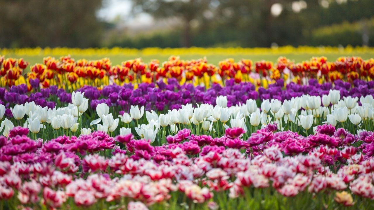 Долина тюльпанов