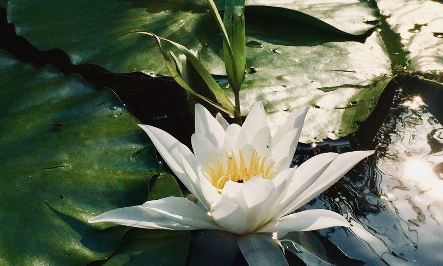 Квітка на воді