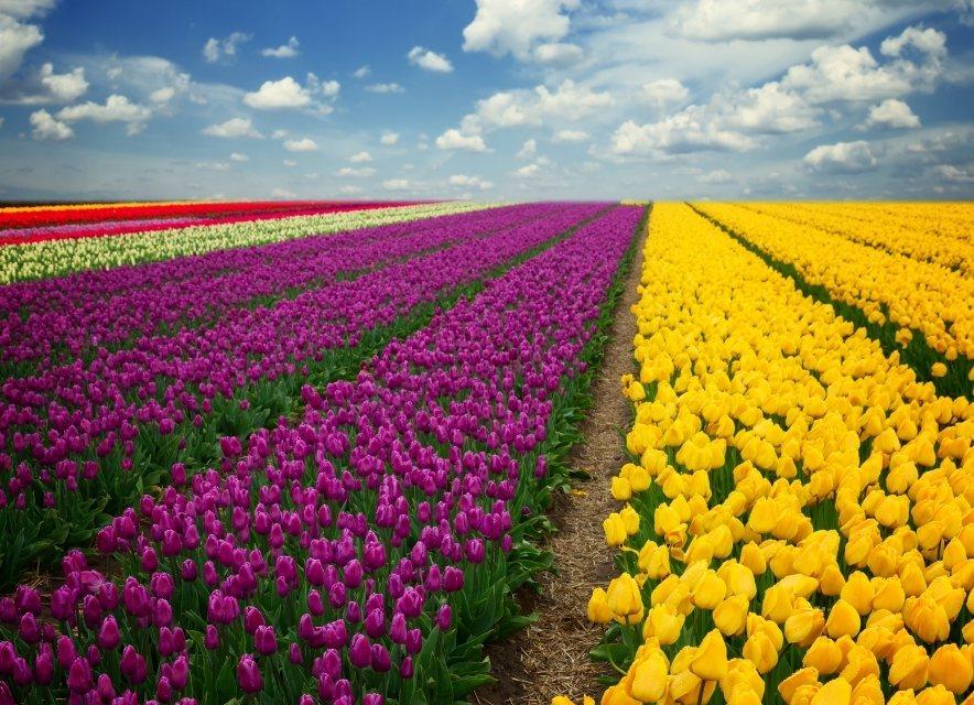 Тюльпаны в Мамаевцах
