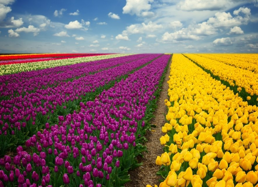 Тюльпани в Мамаївцях