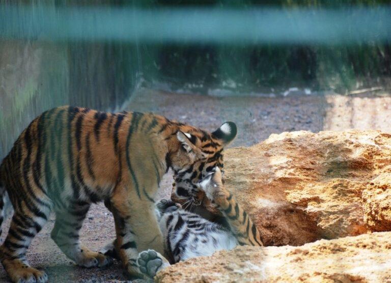 Грайливі тигри