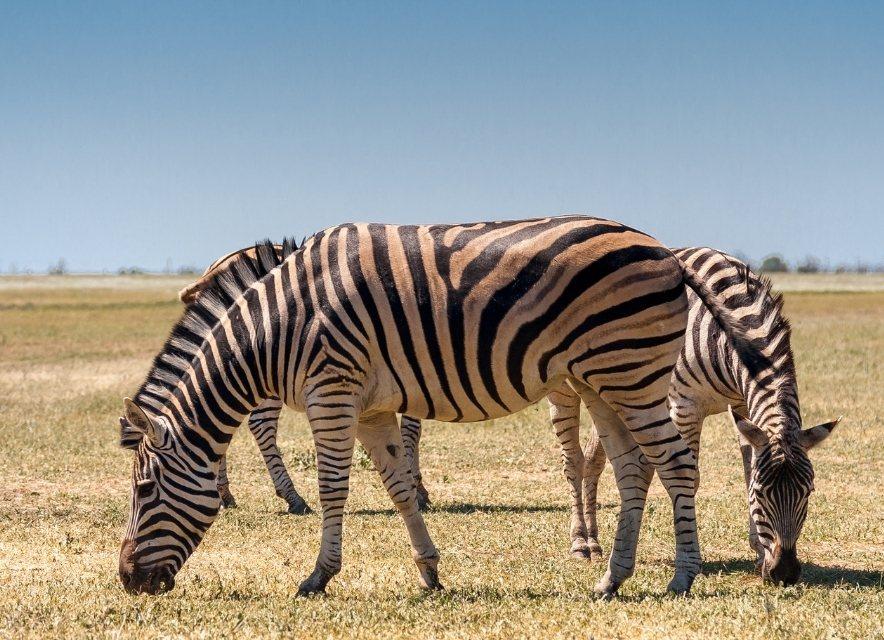 Зебри в Асканії-Нова