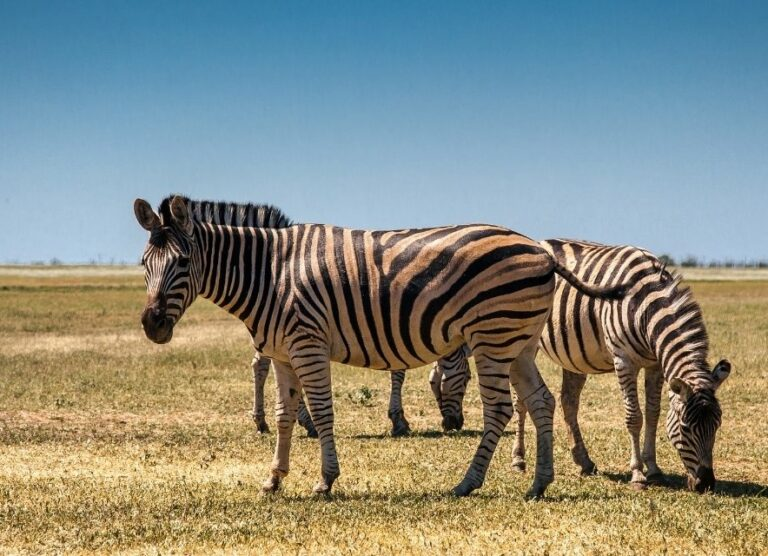 Зебры в степи