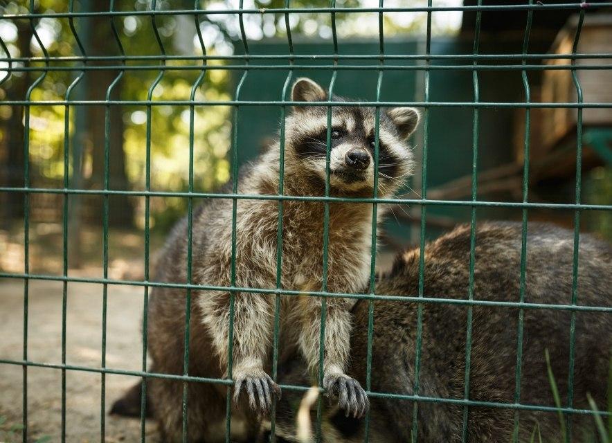 Єнот в зоопарку