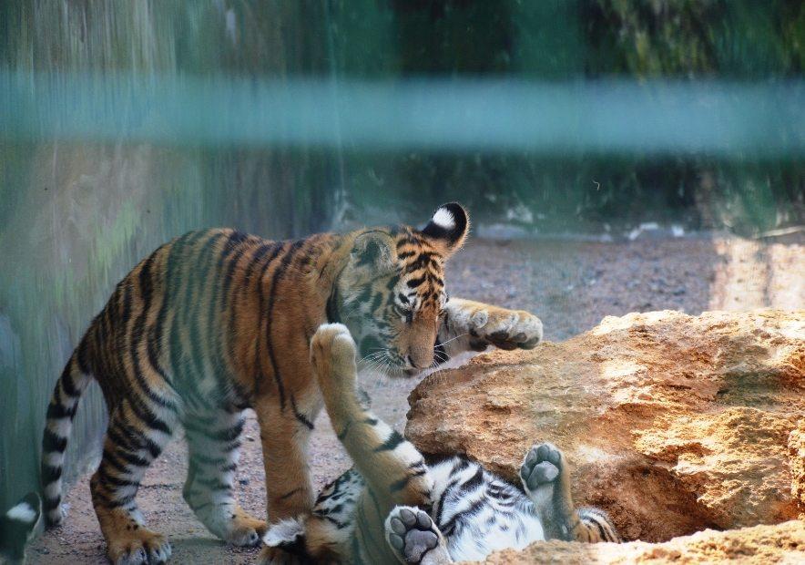 Тигри в Демидові