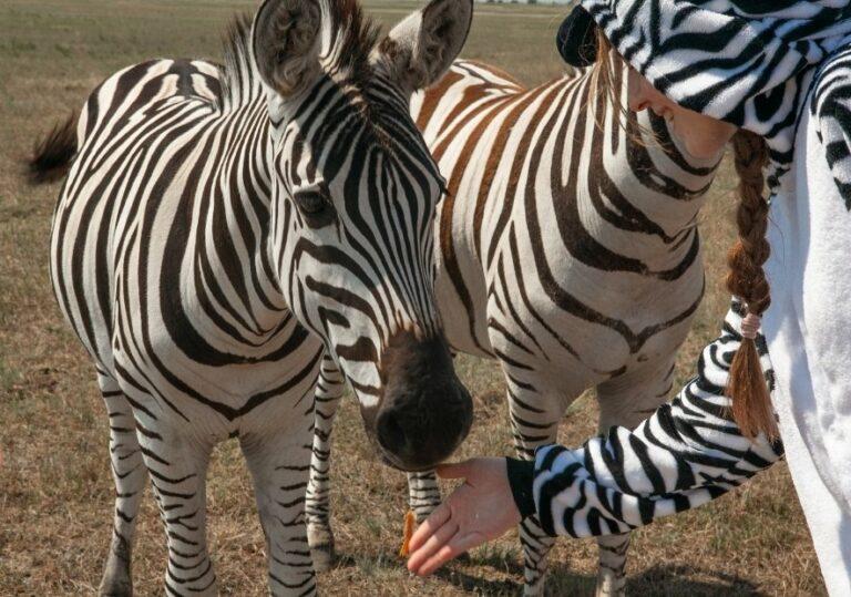 Кормление зебр