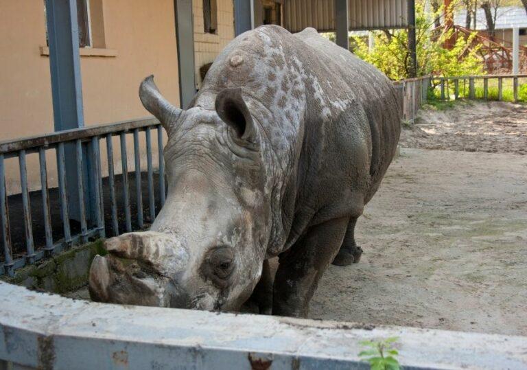 Носорог в Киевском зоопарке