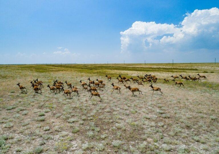 Большое стадо оленей