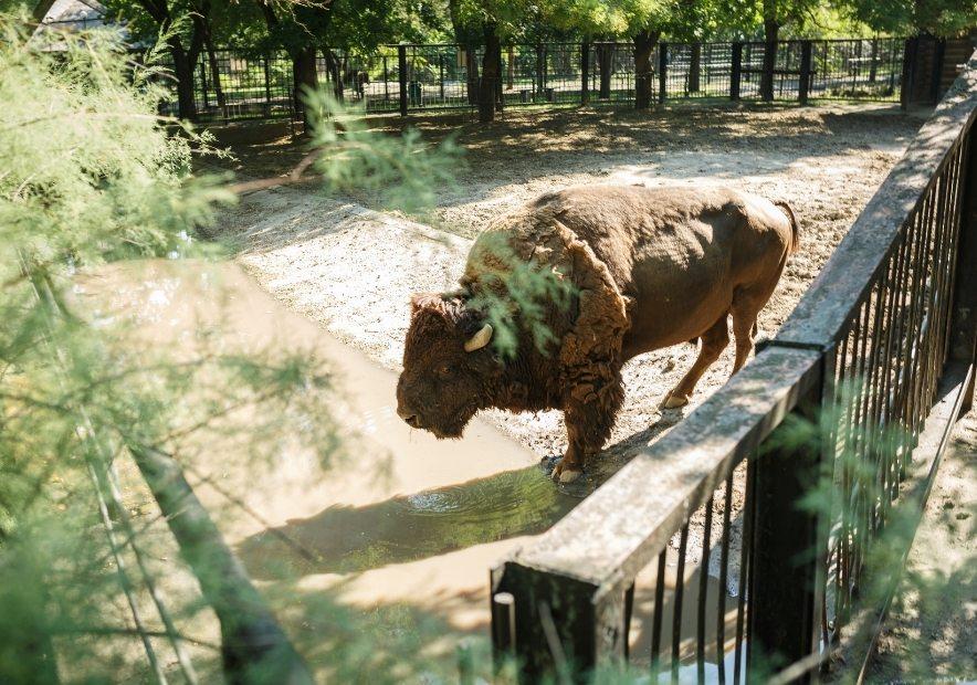 Зубр в зоопарку
