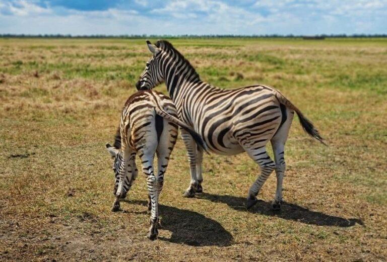 Зебры в парке